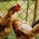 Sygdomme hos høns