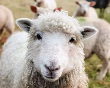 drægtigt får og lam