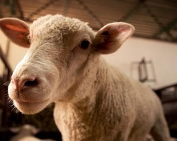 fopder til får