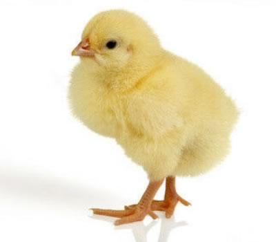 avl af kyllinger