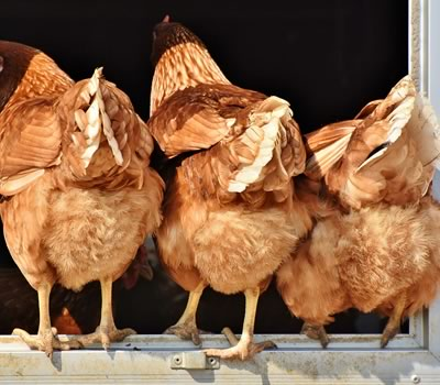 nye høns i hønsegården