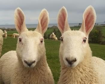 Oversigt fåreracer